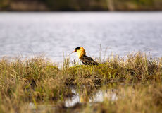 Mating behaviour of ruffs in lek (place of courtship) Stock Photography