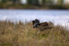 Mating behaviour of ruffs in lek (place of courtship) Stock Photo