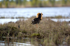 Mating behaviour of ruffs in lek (place of courtship) Royalty Free Stock Image