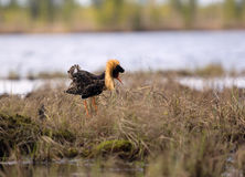Mating behaviour of ruffs in lek (place of courtship) Royalty Free Stock Photos
