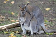 Mating Bennet`s Wallabies Royalty Free Stock Images