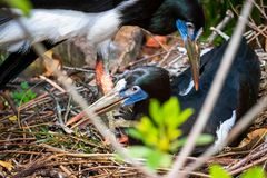 Mating birds in a nest in the wild of Florida royalty free stock photos