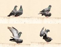 Mating Birds Royalty Free Stock Photo