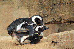 Mating black-footed penguins Stock Photo