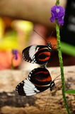 Mating Black and White Longwing Butterflies Stock Images