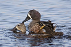 Mating Blue-winged Teals Royalty Free Stock Images