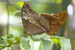 Mating Brown butterflies, Cairns, Australia Stock Photo