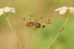 Mating bugs with red and black stripes. Stock Photos