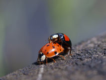 Mating bugs Royalty Free Stock Images