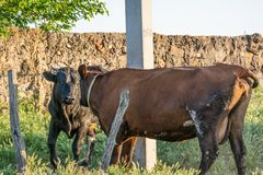 Mating the bull and the cow. At sunset royalty free stock image