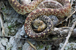 Mating Bull Snakes Stock Images