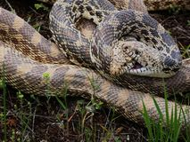 Mating Bull snakes entangled together. Bull snakes entangled during mating ritual coil royalty free stock photos