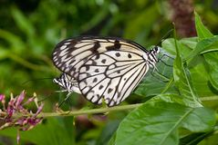 Mating Butterflies Royalty Free Stock Images