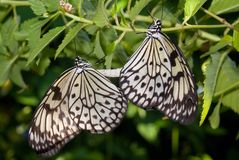 Mating Butterflies stock images