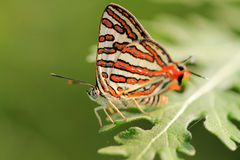 Mating butterflies Stock Photography