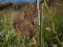 Mating butterflies. Meadow brown, Maniola jurtina, butterflies, mating on a plant stem in a meadow Stock Image