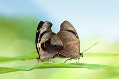 Mating Butterflies Stock Image