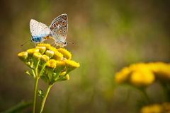 Mating butterflies. Two beautiful Lycaena Phlaeas mating butterflies on yellow flowers Royalty Free Stock Images