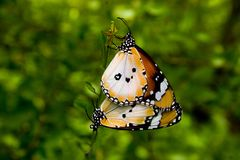 Mating Butterflies Stock Photos