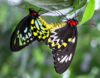 Mating Butterflies. A pair of Cairns Birdwing Butterflies (Ornithoptera priamus), native to the Australian tropical rainforest, with the female more colorful and Stock Photo