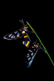 Mating butterflies Royalty Free Stock Image