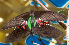 Mating butterflies, with colorful background. Stock Photos