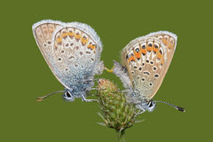 Mating butterflies Common Blue (Polyommatus icarus Royalty Free Stock Photo