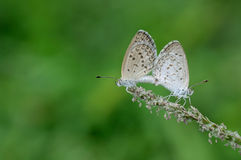 Mating butterflies on the grass flower with blurred background. Mating butterflies with blurred background Royalty Free Stock Photo