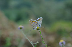 Mating butterflies Royalty Free Stock Photography