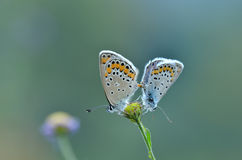 Mating butterflies Royalty Free Stock Photos