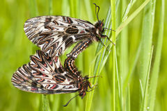 Mating Butterflies (Zerynthia polyxena) Royalty Free Stock Photo
