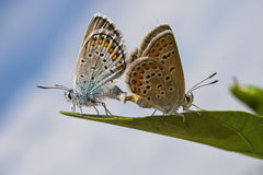 Mating Butterfly Stock Photo