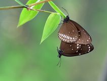 Mating butterfly. Common crow/common Indian crow butterflies are mating in the canopies of bamboo plants. These are very common butterfly in South Asia and stock images