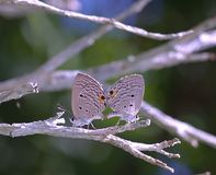 Mating butterfly Royalty Free Stock Image