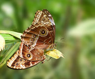 Mating butterfly - Owl butterfly Stock Photography