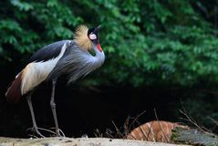 Mating call. An african crowned crane atop a hill initiates a series of mating calls stock image
