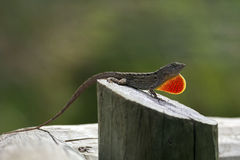 Mating call. A Green Anolis displaying brown colouring and extending red-orange-yellow dewlap to flag its territory and attract females to its risky perch atop a Royalty Free Stock Photography