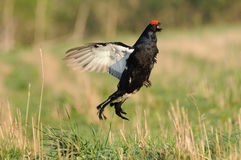 Mating call of jumping male Black grouse Stock Photography