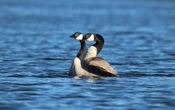 Mating Canada Geese on a Blue Lake in Spring royalty free stock photo