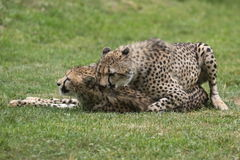 Mating cheetahs Stock Photos