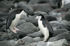 Mating Chinstrap Penguins, Penguin Island, South Shetland Islands, Antarctica Stock Photo