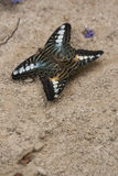 Mating Clipper Butterflies. Two clipper butterflies mating on the sand. Parthenos sylvia Royalty Free Stock Images