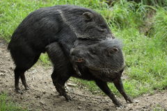 Mating collared peccaries. The mating collared peccaries in the grassland Royalty Free Stock Image