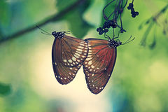 Mating of Common Crow Butterfly Stock Photo