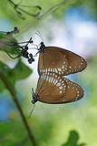 Mating of Common Crow Butterfly Stock Photos