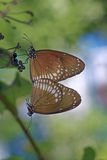 Mating of Common Crow Butterfly Royalty Free Stock Photography