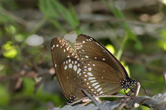 Mating of Common Crow Butterfly Stock Photography