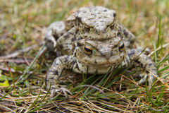 Mating Common or European Toads (Bufo bufo) Royalty Free Stock Photography