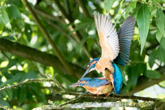Mating common Kingfishers Stock Photography