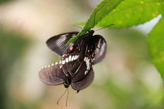 Mating Common Mormons. On a a leaf inside the butterfly park Royalty Free Stock Photography